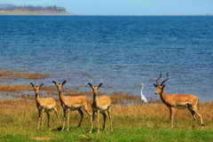 Herde der Impala stehend auf der Küstenlinie von See Kariba Lizenzfreie Stockbilder