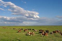Herde der Kühe stockbilder