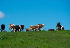 Herde der Kühe Lizenzfreie Stockfotos