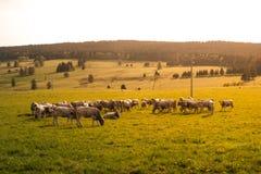 Herde der Kühe Stockbild