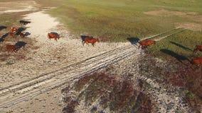 Herde der Kühe stock footage