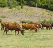 Herde der Kühe auf Wiese Stockfotos