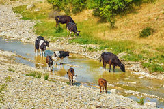 Herde der Kühe Stockfotos