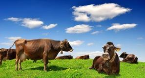 Herde der Kuh Stockfotografie