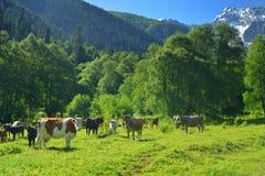 Herde der Kuh Lizenzfreies Stockfoto