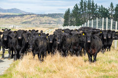 Herde der Kuh, Neuseeland lizenzfreie stockfotos