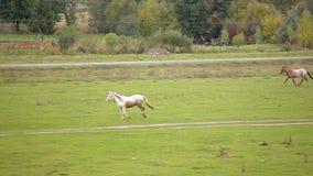 Herde der laufenden Pferde stock footage