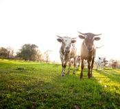 Herde der neugierigen jungen Kühe lizenzfreies stockfoto