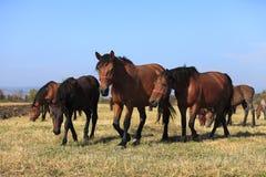 Herde der Pferde Stockfotos