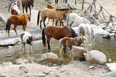 Herde der Pferde, die vom Strom trinken Stockbilder