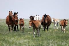 Herde der Pferde (Stuten u. Schätzchen) Stockfotografie