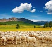 Herde der Schafe Stockfotografie