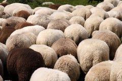 Herde der Schafe lizenzfreies stockbild