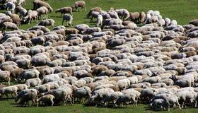 Herde der Schafe auf grüner Wiese 1 Stockfotografie