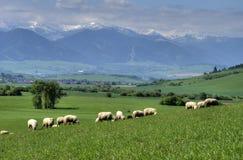 Herde der Schafe auf schöner Gebirgswiese Lizenzfreie Stockfotografie