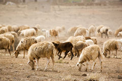 Herde der Schafe auf trockenem Land stockfotos