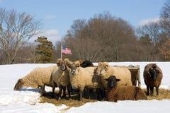 Herde der Schafe im Winter Stockfoto