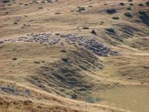 Herde Herde der sheeps lizenzfreies stockbild