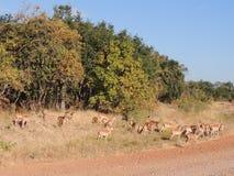 Herde der weiblichen Impalas Stockbilder