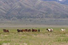 Herde der wilden Pferde stockfoto