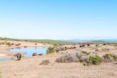 Herde des afrikanischen Büffels und des Elefanten Lizenzfreies Stockfoto