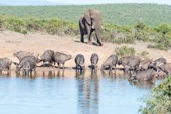 Herde des afrikanischen Büffels und des Elefanten Stockfotos