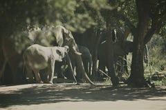 Herde des afrikanischer Elefant-Trinkwassers Lizenzfreie Stockfotografie