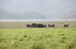 Herde des asiatischen Elefanten bewegend in Dhikala-Wiese Stockbilder