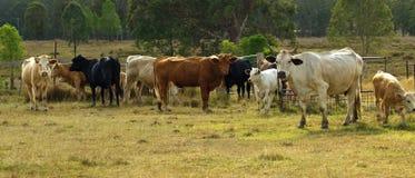 Herde des australischen Mastvieh panarama Stockfotografie