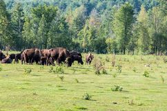 Herde des Büffels Stockfotografie