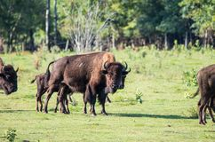 Herde des Büffels Lizenzfreie Stockfotos