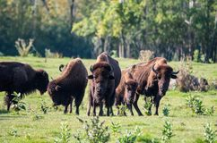 Herde des Büffels Lizenzfreie Stockfotografie