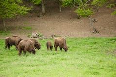 Herde des Bisons Lizenzfreie Stockfotografie