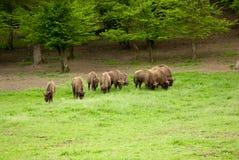 Herde des Bisons Lizenzfreie Stockbilder