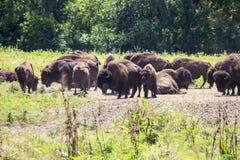 Herde des Bisons auf einer Strecke lizenzfreie stockfotos