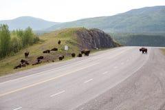 Herde des Bisons auf Straße Stockfotos