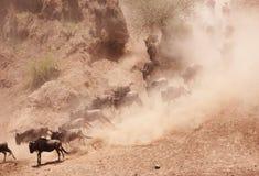 Herde des blauen Wildebeest (Connochaetes taurinus) Lizenzfreies Stockbild