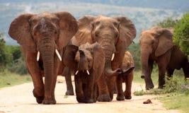 Herde des Elefanten in Südafrika Stockfoto