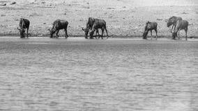 Herde des Gnu-Trinkwassers Stockfoto