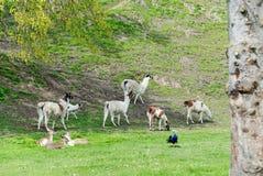 Herde des Lamas, Rotwild, Pfau in den grünen Wiesen im Frühjahr Lizenzfreie Stockfotos