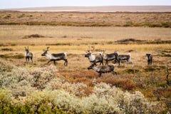 Herde des Rens, Schweden stockfotos