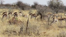 Herde des Springbocks, Afrika-Safariwild lebende tiere stock video footage