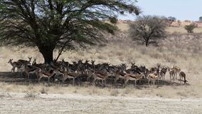 Herde des Springbocks, Afrika-Safariwild lebende tiere stock video