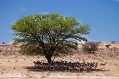 Herde des Springbocks, Gemsbok-Park, Südafrika lizenzfreie stockfotos