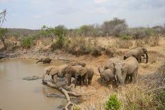 Herde des Trinkens der afrikanischen Elefanten Lizenzfreies Stockbild