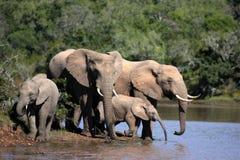 Herde des Trinkens der afrikanischen Elefanten Stockbild