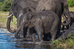 Herde des Trinkwassers der Elefanten in der Untiefe stockbild