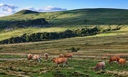 Herde des Viehs Stockfotografie