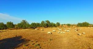 Herde des Viehs auf Feld stock footage