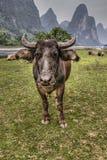 Herde des Viehs, das auf Weide Li River, Guangxi, China weiden lässt Stockbilder